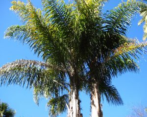 Queen Palms in the Winter