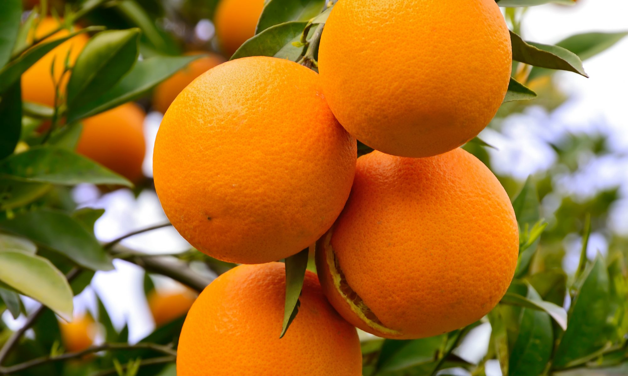 citrus-trees